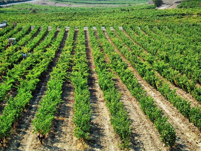 Harvest in San Roman